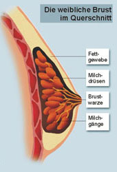 Die Stammzellen in der Erhöhung der Brust